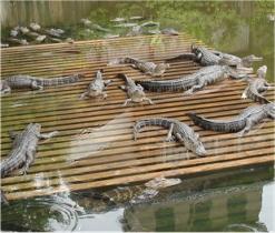 Gatorland Aligatoren