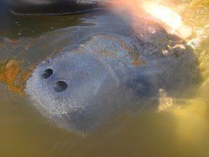 Schwimmen mit freilebenden Manatees im Crystal River