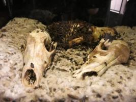 Skeletons Orlando Schädel